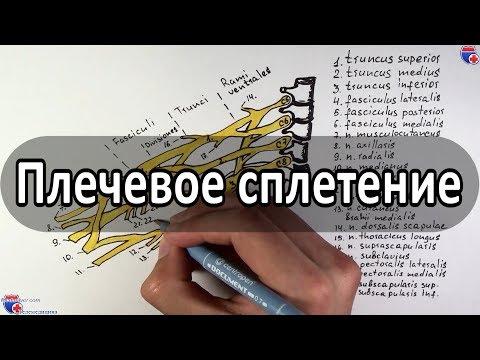 Плечевое сплетение и его нервы - meduniver.com