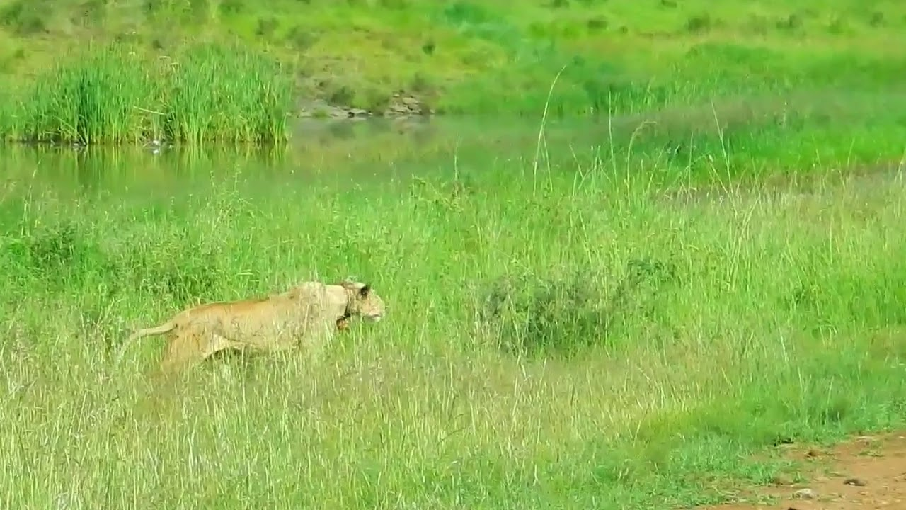 Stealth of a Lioness