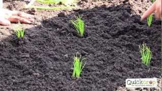 Grow Your Own Spring Onions With Quickcrop