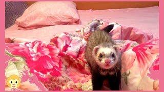Ferret life!!! A ferret playing!!! Животные приколы!!! Животные смешные!!! Приколы с животными!!!