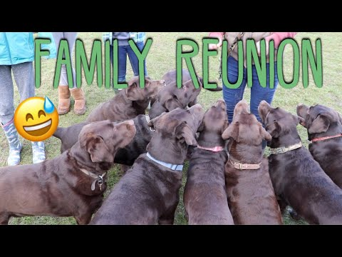 OUR CHOCOLATE LABRADOR MEETS HIS BROTHERS, SISTERS, MUM, DAD AND GRANDMA!!! **EMOTIONAL REUNION**