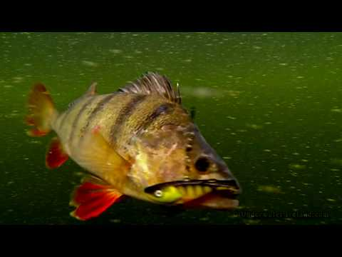 Giant Perch Eat Little Zipper: Fishing With Lures In A Small River.