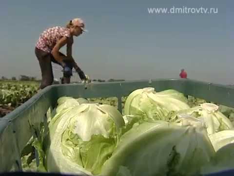 Сбор урожая салата от Глобал Сидс в КФХ Сухановых - Добрые Семена.ру