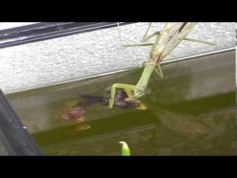 カマキリが金魚を捕食