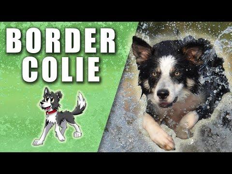 Border Collie - El perro más INTELIGENTE, TENAZ y ÁGIL - Perros del Mundo