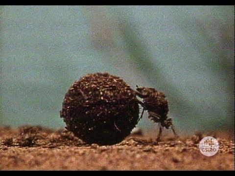Dung Down Under (1972)