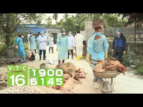 Dịch tả lợn Châu Phi: Không được bán tháo lợn dịch | VTC16
