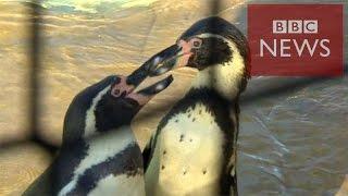 ペンギンはなぜ地上では、体を左右に大きく揺らしてよちよち歩くのか。...