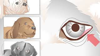 How to Treat Ingrown Eyelids in Dogs