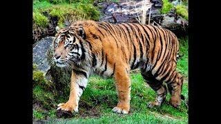 Людоеды: тигры и леопарды. Почему крупные хищники нападают на человека? Animal planet 27.1