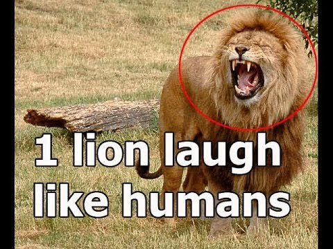 Laughing Lion Found in Jungle  Funny s  Laughing Lion Funny s