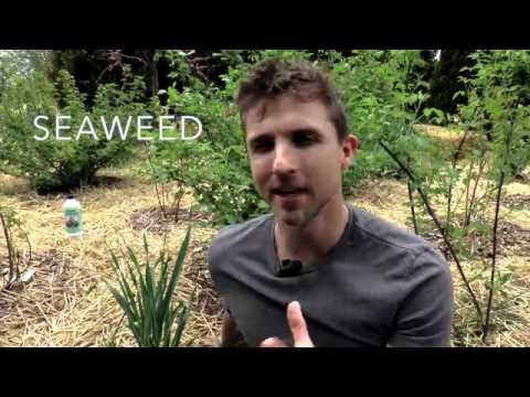 Using Seaweed As Fertilizer Quickie