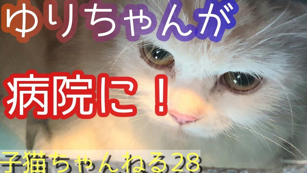 子猫ちゃんねる㉘ ゆりちゃんを病院に連れて行ったよ! 三毛猫のオスのミラクルが大きくなったよ!