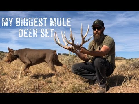 NM Bull Elk Hunt & My Biggest Mule Deer Shed This Year