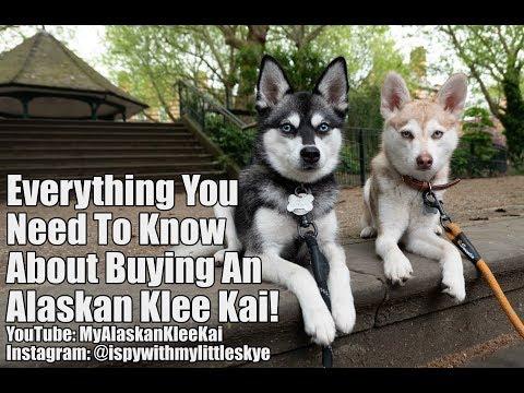 Buying an Alaskan Klee Kai