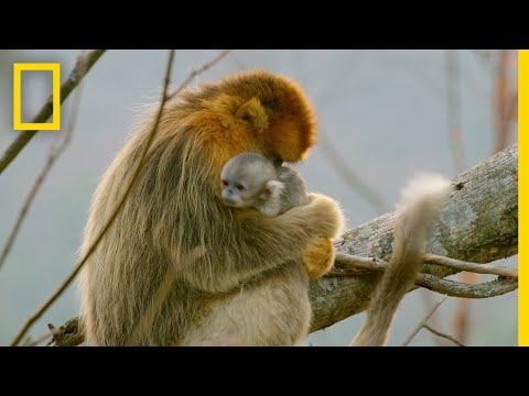 A Baby Golden Snub-Nosed Monkey | Hidden Kingdoms of China