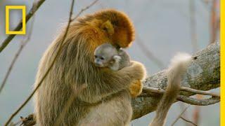 A Baby Golden Snub-Nosed Monkey | Hidden Kingdoms ...