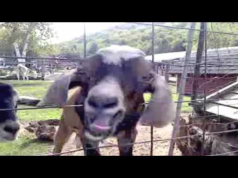Hilarious Goat Blows Jaw-Dropping Sounds