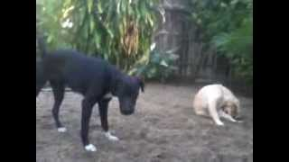 Golden Retriever Vs. Pitbull