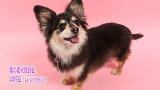 今回は神奈川県秦野市、犬の保育園La promesseさんでの春の愛犬撮影会に...