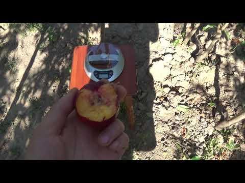 Нектарин Фаярд. Крупноплодный сорт . Сортоман Сад . Видеообзор. Отзывы