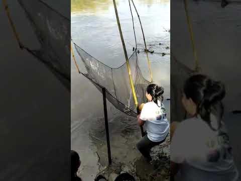 Ikan pantau kampar air tiris