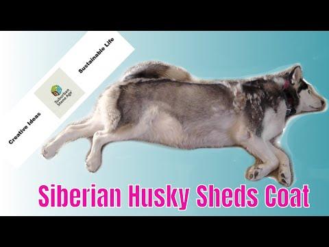Siberian Husky Shedding Blowing Coat