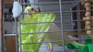 オカメインコの ぐら 白菜を食べる 淡々と白菜 検索動画 25