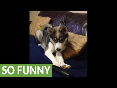 Husky puppy 'chats' with human on the phone
