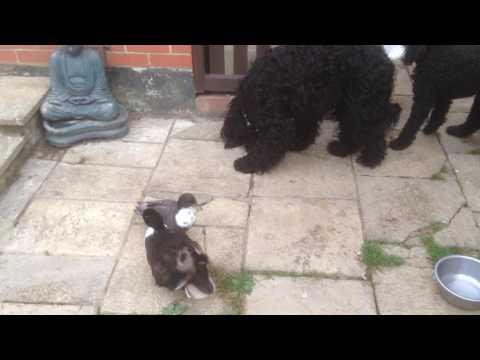 Brave and Daft Barbet versus clever poodle over ducks food