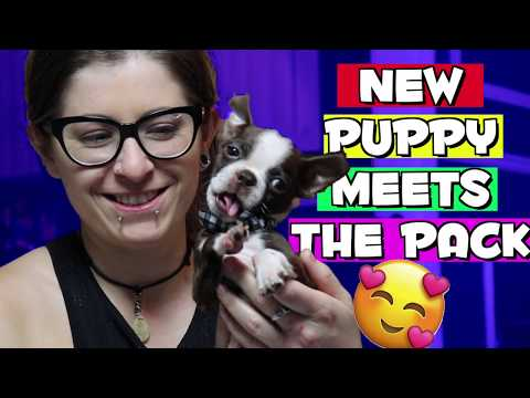 New Boston Terrier puppy meets the pack
