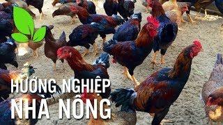 Bí quyết nuôi gà lai chọi   Ánh Dương HCMC