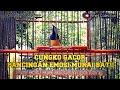 Cucak Cungkok Gacor Pancingan Emosi Murai Batu  Mp3 - Mp4 Download