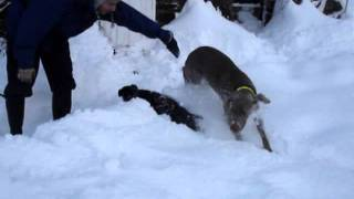 Patterdale Terrier And Weimaraner Playing In The Snow