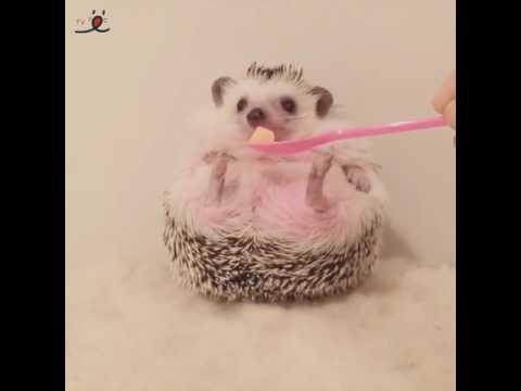 不機嫌ハリネズミくんに、ご飯を差し出すと……かわいい「きゅぴーん」シーンが撮れました😊【PECO TV】