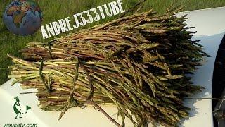Asparagi selvatici - Coltivazione naturale (spontanea) stile Fukuoka