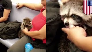 Raccoon on subway: Woman takes pet raccoon onto uptown 6 train in New York - TomoNews