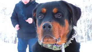 Как приучить собаку к ПЕТАРДАМ. Ротвейлер