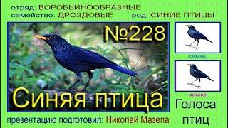 Синяя птица. Голоса птиц