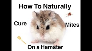 How to naturally cure mites on hamsters