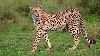 Les plus belles photos du plus rapide mammifère terrestre : Le Guépard.