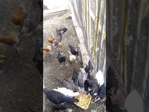 ternak ayam kampung modal awal - YouTube