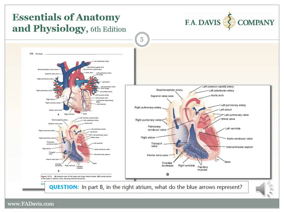 Essentials of Anatomy and Physiology - YouTube