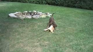 Dogs at Play Thumbnail