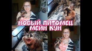 Котенок мейн кун 2 месяца