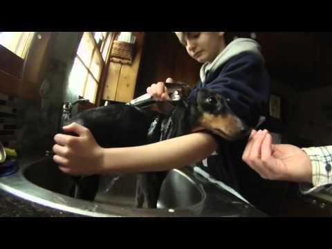 Grooming and Care for your Toy Manchester Terrier - (Pinky Takes a Bath)