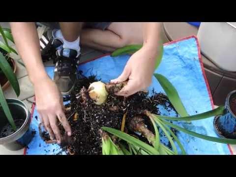 Preparing Amaryllis for Dormancy