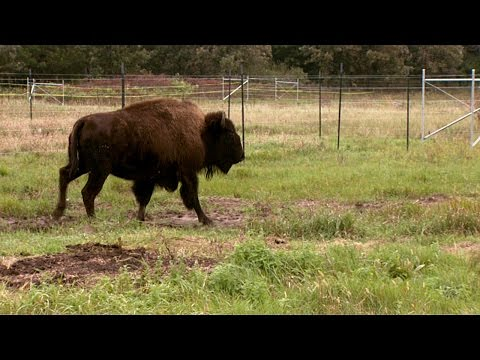 Bringing Home the Bison – Minneopa State Park