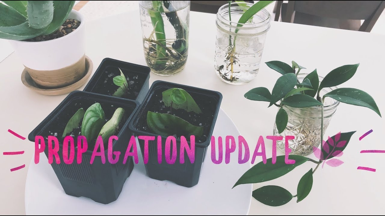 Plant Propagation Update Monstera Hoya Peperomia Succulents