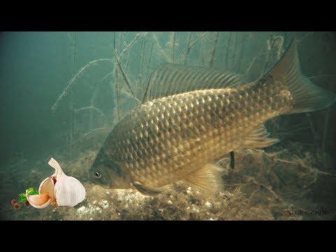 КАРАСЬ на ЧЕСНОК и ГРЕЧКУ! Реакция рыбы. Подводная съемка